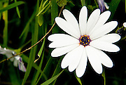 A white daisy in Big Sur, Calif., on March 6, 2008.