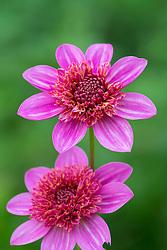 Dahlia FVDV86 -  light pink version of  'Blue Bayou'