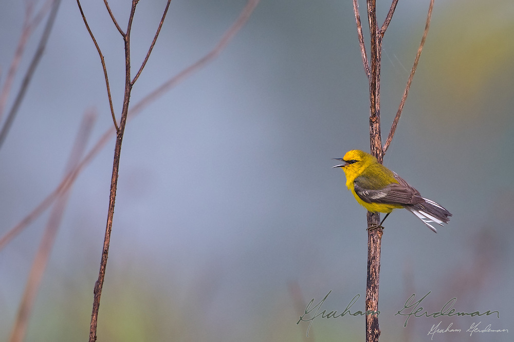 A Blue-winged Warbler (Vermivora cyanoptera) singing in the morning fog.