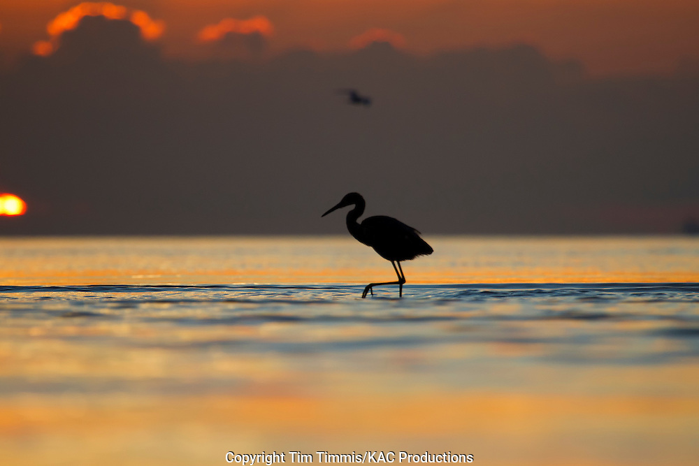 Reddish Egret, Egretta rufescens, Bolivar Flats, Texas gulf coast, silhouette, walking with raised leg
