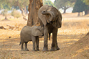 Female African Elephant nurses young offspring. Photographed at Lake Kariba, Zimbabwe