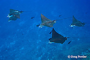 schooling spotted eagle rays, Aetobatus narinari, Ice Cream bommie, Saipan, Commonwealth of Northern Mariana Islands, Micronesia ( Western Pacific Ocean )