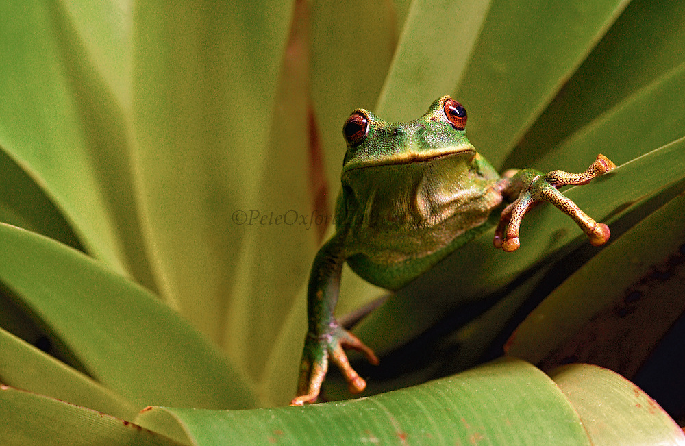 Marsupial Frog (Gastroteca orophylax) also called keeper of the gold because of its color. Sitting in bromeliad<br /> Santa Barbara Sucumbios Province 2800 meters<br /> Cloud Forest ECUADOR. South America