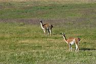 Guanaco (Lama guanacoe), Sierra Baguales, Patagonia, Chile