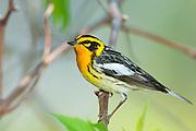 Blackburnian Warbler, Setophagafusca, male, Magee Marsh