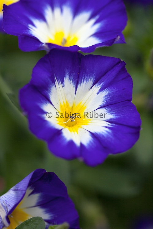 Convolvulus tricolor 'Royal Ensign' - dwarf morning-glory