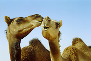 Camels nuzzling each other in Empty Quarter, Oman - Valentine's Day??