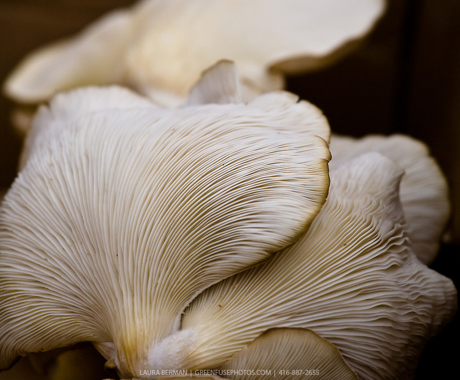 Oyster mushrooms (Pleurotus ostreatus)