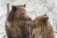 Grizzly cubs learn all they need  to survive on their own from observing their mother. Most cubs stay with their mother for 2 1/2 years, but in areas where food isn't plentiful, they often stay together another year.  Such is the case with the grizzly known as Raspberry, and her cub, Snow.