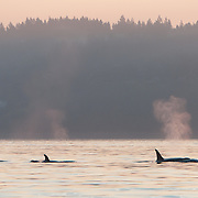 A female and young transient killer whale (Orcinus orca) make their way up the shoreline just off of Golden Gardens, in Seattle, Washington. Transient orcas are mammal eaters, dining primarily on seals and sea lions. Photo by William Drumm.