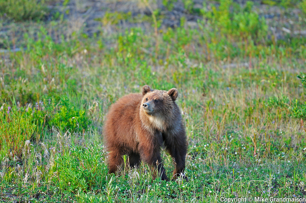 Young Grizzly bear (Ursus arctos) at edge of forest<br />Alalska Highway west of Whitehorse<br />Yukon<br />Canada
