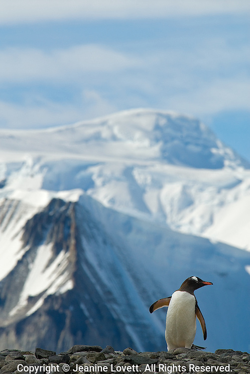 Walking Gentoo Penguin with mountain.