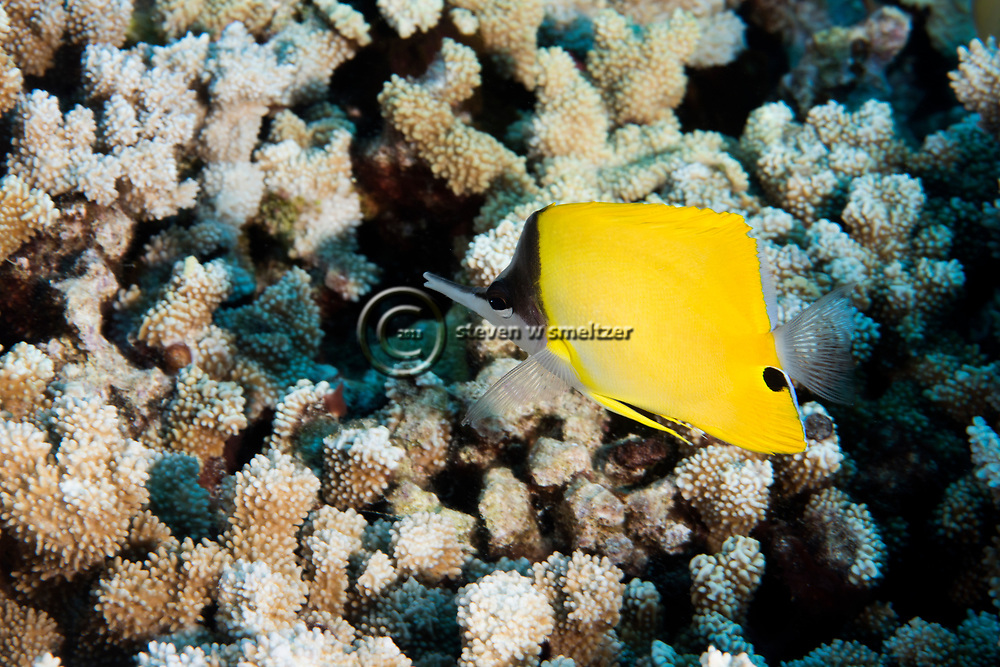Common Longnose Butterflyfish, Forcipiger flavissimus, lauwiliwilinukunukuoioi, Jordan & Evermann, 1898, Maui Hawaii