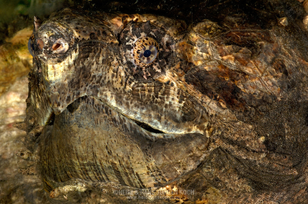 Deu, Deutschland: Geierschilkroete (Macrochelys temminickii), Portraet, close-up, Reptilienzoo Regensburg, Bayern | DEU, Germany: Alligator Snapping Turtle (Macrochelys temminickii), portrait, close-up, reptile park, Regensburg, Bavaria