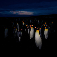 A waddle of penguins at twilight, Volunteer Beach, Falkland Islands, 2017