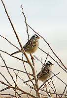 An adult White Crowned Sparrow has black and white streaks on its head with a gray face and either a pink or orange bill.