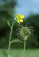 WOOD AVENS Geum urbanum (Rosaceae) Height to 50cm<br /> Hairy perennial of hedgerows and woodland. FLOWERS are 8-15mm across and comprise 5 yellow petals; upright in bud but dropping when fully open (May-Aug). FRUITS are bur-like, with red, hooked spines. LEAVES comprise basal leaves with 3-6 pairs of side leaflets and a large terminal one; stem leaves 3-lobed. STATUS-Widespread and common.