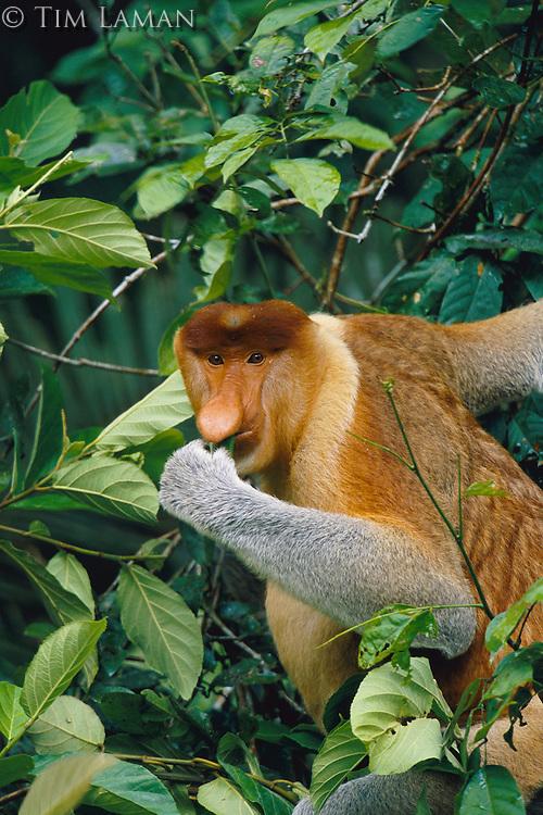 A male proboscis monkey feeds on leaves.