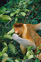 A male proboscis monkey feeds on leaves.