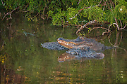 Pair of american alligators with one resting its head on top of the other ones head