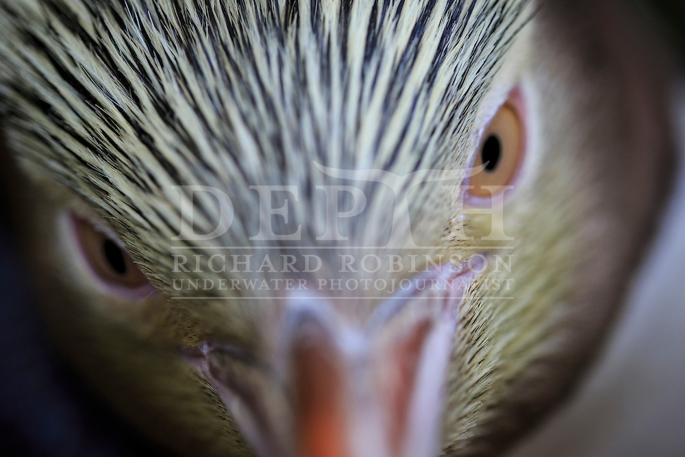 Megadyptes antipodes (Yellow eyed penguin) at Enderby Island, Auckland Islands, New Zealand. <br /> 07 January 2016<br /> Photograph Richard Robinson &copy; 2016