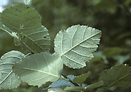 French Hales Sorbus devoniensis (Rosaceae) HEIGHT to 7m <br /> A medium-sized tree, or sometimes a large hedgerow shrub. LEAVES Broadly oval and leathery with shallow-toothed, sharp lobes on distal two-thirds of leaf; dark glossy green above and white below, with 7-9 pairs of veins. REPRODUCTIVE PARTS Fruits are brownish orange, to 15mm long, with numerous lenticels. STATUS AND DISTRIBUTION Local, on neutral to slightly acid, rocky ground; the main range is Devon and E Cornwall, but it also occurs in SE Ireland. These days it is mainly a hedgerow species but it is also found in coastal woodland too.