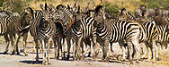 A large group of zebras blend in with each others' stripes in the Madikwe Game Reserve, South Africa.