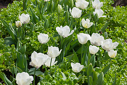 White tulips with Lettuce 'Green Salad Bowl'. Including Tulipa 'Purissima', 'Snow Parrot', ?'White Parrot'. Label also included White Lizard and Whipped cream