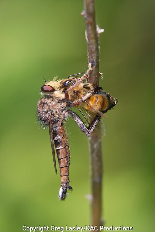 Promachus bastardii<br /> with a bee as prey<br /> Caddo National Grasslands<br /> Fannin Co., Texas<br /> 15 June 2011