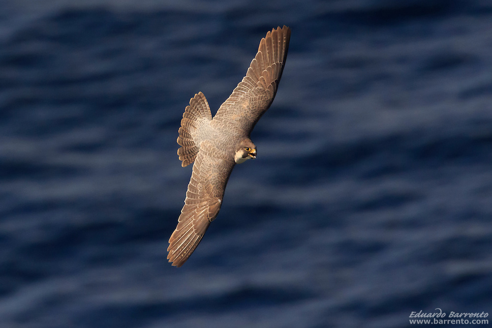 Peregrine falcon (Falco peregrinus). Bird of prey flying over the blue sea, with morning light, seen from above