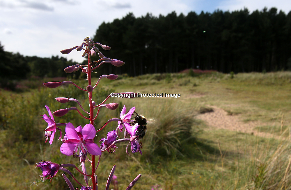A bee on a flower Tentsmuir forest Fife. 2015.Photograph David Cheskin