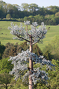"False Tree Mobile Phone Mast / Fake Cell phone Antenna Tower in English landscape..Disguised ""Antenna Tower in the form of a Tree"" at the Offices of AlanDick  located next to the A40 at Charlton Kings. Cheltenham, Gloucestershire, England"