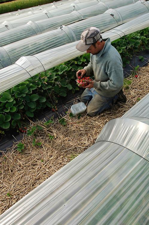 29/05/06 - BEAULIEU SUR DORDOGNE - CORREZE - FRANCE - Cueillette de fraises remontantes DARSELECT - Photo Jerome CHABANNE