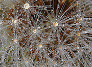 Dandelion seeds with dew drops