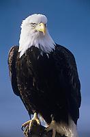 Alert Bald Eagle