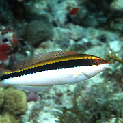 Clown Wrasse inhabit reefs and adjacent sand areas in Tropical West Atlantic; picture taken Anguilla.
