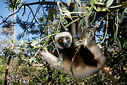 Sifaka Lemur. Lemurs Park on the banks of the River Katsaoka.  Nr Antananarivo. Madagascar...Picture by Zute Lightfoot .+44(0)75145390425 www.lightfootphoto.com