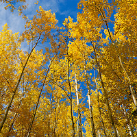 Alberta's autumn aspens glow in the sunlight following a shower.