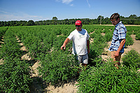 Broadway Hemp's Ryan Patterson (left) shows an extension agent around his Harnett County hemp farm.