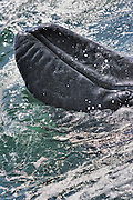 Close up of baby gray whale