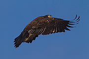 A juvenile bald eagle (Haliaeetus leucocephalus), about two and a half months old, takes off from a tree near its nest. At the time of this image, the bald eagle fledgling had been flying for about two weeks.