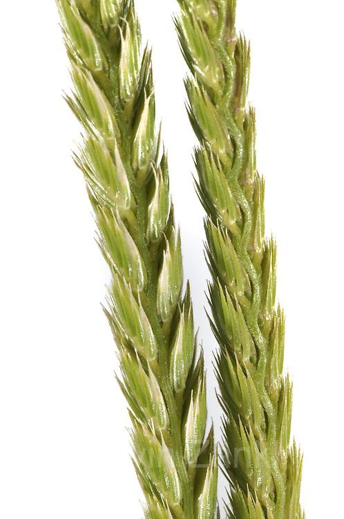 Wiesen-Kammgras (Cynosurus cristatus)   dog's-tail grass, crested dog's-tail