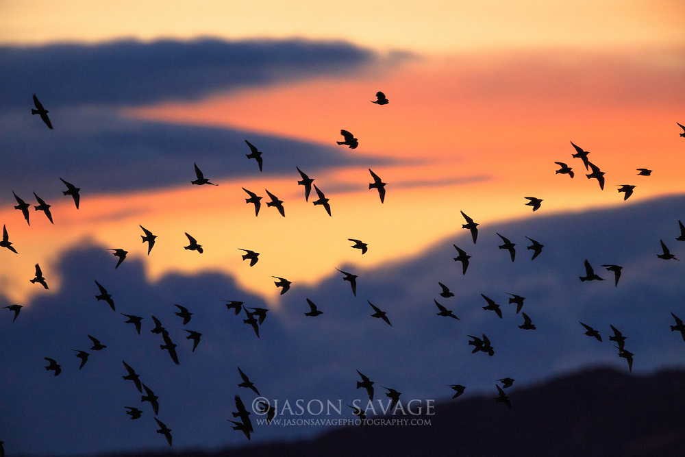 Red-winged blackbirds, Montana
