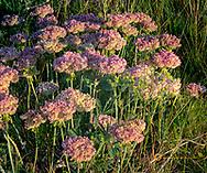 Eriogonum umbellatum, aka, buckwheat wildflowers in Glacier National Park, Montana, USA