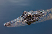 A juvenile American Alligator floats on the surface of  the still waters of a bayou in Louisiana, North America.