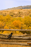 Common raven, (Corvus corax), Three Dollar Bridge area, south of Ennis, Montana
