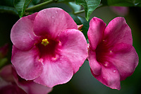 Pink Allamanda flowers. Backyard urban garden in St. Petersburg. Image taken with a Fuji X-T2 camera and 100-400 mm OIS lens (ISO 200, 400 mm, f/5.6, 1/300 sec).