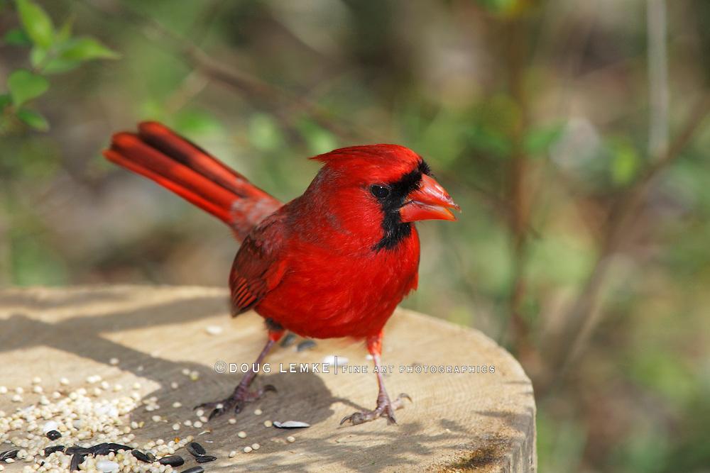 A Red Bird, The Northern Cardinal Eating Bird Seed, Male, Cardinalis cardinalis