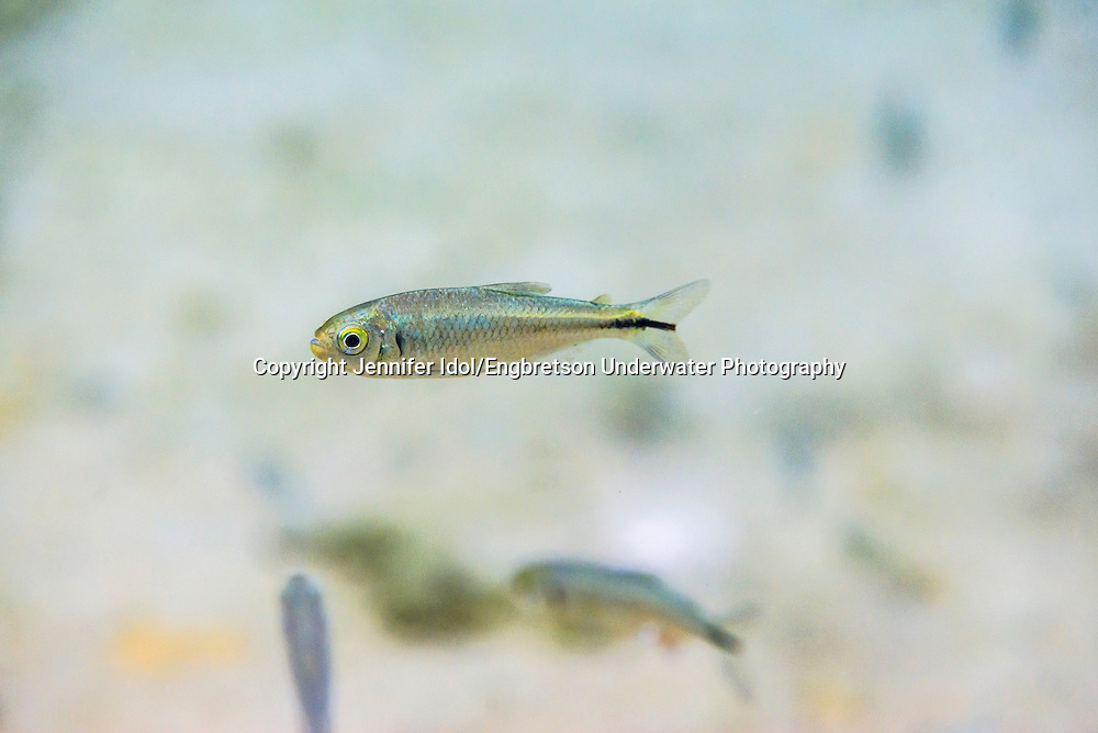 Roundnose Minnow<br /> <br /> Jennifer Idol/Engbretson Underwater Photography