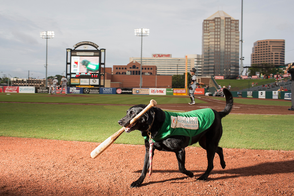 Miss Babe Ruth, one of three bat dogs for the Greensboro Grasshoppers, retrieves a bat during a game against the Hickory Crawdads at NewBridge Bank Park, Greensboro, North Carolina, Monday, June 21, 2014.